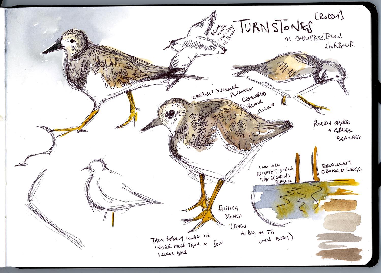 Turnstone sketchbook page Bird of the Month Hannah Longmuir